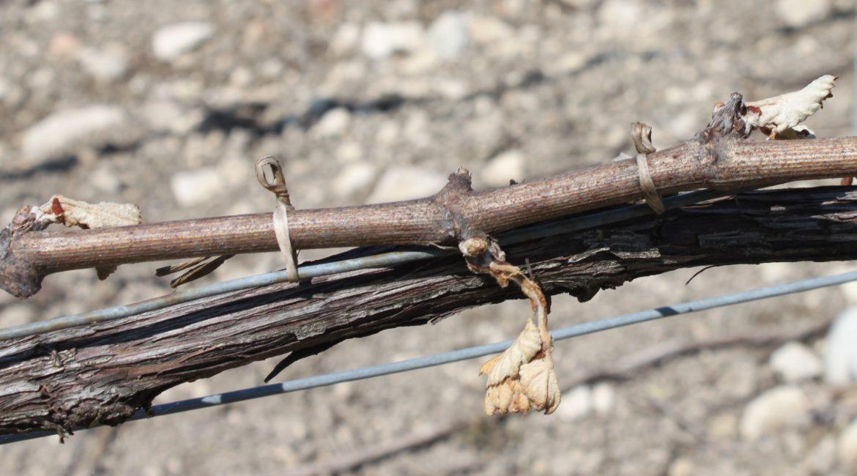 Gelées dans le vignoble